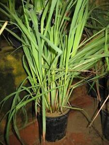 Healthy Lemon Grass Mirrabooka Stirling Area Preview