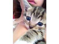 Beautiful female kitten.