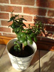 MATURE MONEY PLANT ABOUT 7 YEARS OLD HEALTHY AND DISEASE FREE