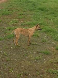 Female Whippet Wyalong Bland Area Preview