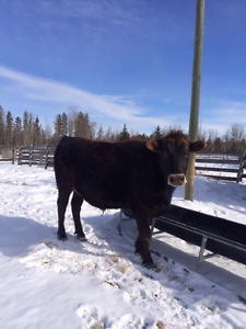 Jersey Steer For Sale