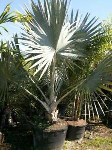 Windmill Palm Trees available this spring-We SHIP TO BC