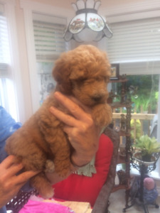 Mini Double doodle/Multi generation Australian Mini Labradoodle-