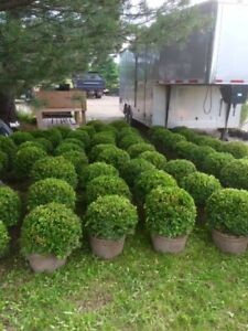 WHOLESALE NURSERY STOCK shrubs plants boxwood yews cedar juniper