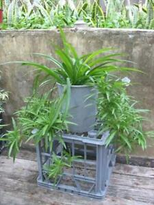 Potted beautiful spider plants