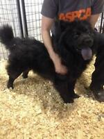 "Young Female Dog - Chow Chow: ""Pepita"""