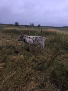 British White/ Angus bull calves