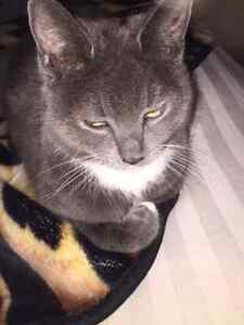 Lucy - Lost Female Cat - Grey with White Shorthair. London Ontario image 1