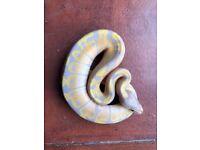 Banana ball python babies for sale