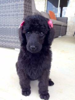 Poodle Puppies Caboolture Caboolture Area Preview
