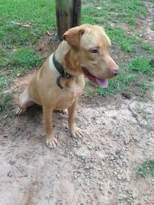 "Adult Male Dog - Labrador Retriever-Pointer: ""Henry"""