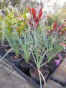 Tulbaghia Society garlic Ipswich Ipswich City Preview