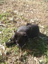 Kelpie x Border Collie female puppy free to good home Upper Taylors Arm Nambucca Area Preview