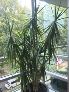 6 foot tall house plant for sale