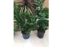 2 large Euonymus green plants. Collect from Fulham