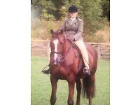 14.2HH IRISH SPORTS HORSE SCHOOL MISTRES