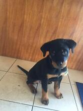 Rottweiler Male purebreed puppy!! Hampton Park Casey Area Preview