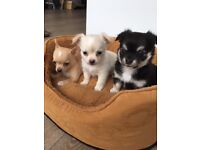 Chihuahua puppies 2 left