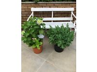 2 large outdoor plants (Hydrangea and Sedum). Collect Fulham