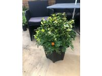 Garden plants: Euonymus evergreen plant and Marigolds in black pot. Collect Fulham