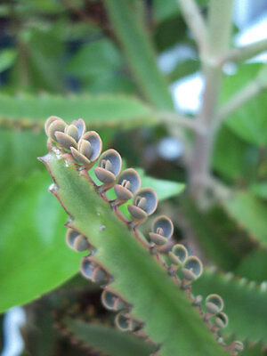 Mother of Thousands (Kalanchoe)  Easy to Care for House Plant - Free Shipping! (Easy Care House Plants)