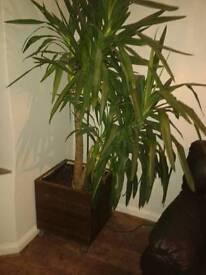 Yucca variety plant