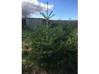 Cut Real Living Christmas Trees (Nordmann Fir) Quantities per 25
