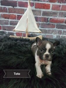 CKC Registered Beautiful French Bulldog 2 Left