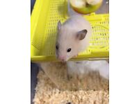 Baby Pedigree Syrian Hamsters