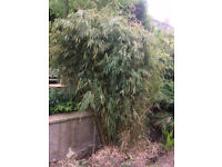 Mature bamboo plants - free to collect