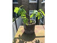 Medium fig tree