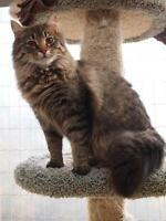"Young Male Cat - Domestic Medium Hair-Tabby - Brown: ""Donny"""