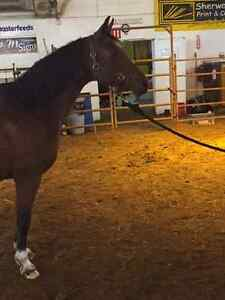 Arabian Mare for Sale