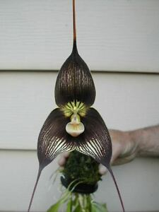 Orchid Dracula Vampire 'Zorba' AM/AOS - Blooming Size
