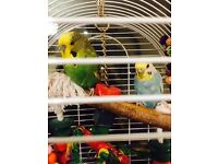 Cute budgerigars for sale