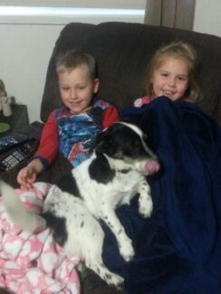 For adoption Jack Russell x Australian Cattle Dog Taringa Brisbane South West Preview