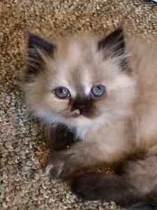 Gorgeous Purebred Persian & Himalayan Kittens (3F) Available