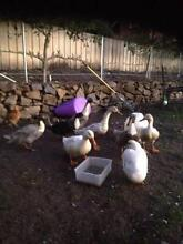 Blue Swedish Ducks for sale Beauty Point West Tamar Preview