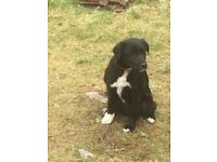 Borador Puppy for sale