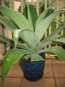 Cheap Agave plants for sale Mirrabooka Stirling Area Preview