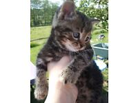 Beautiful Tabby Kittens For Sale