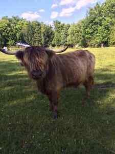 Scottish highland cows for sale $1000.00 each Belleville Belleville Area image 1