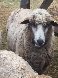 Purebred Rams for Sale: Romeldale and CVM