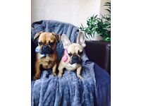 For sale French bulldog boy and girl
