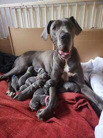 Beautiful litter of 13 blue Great Dane puppies