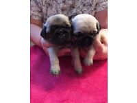 Pug Puppies Fawn