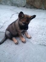 Sable German Shepherd Puppies - $1000 after obedience courses