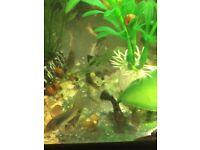 Fish for Sale - Hoplo Catfish / Male Triple Red Apisto / Bronze Cory