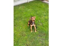 Nuttall Patterdale Terrier