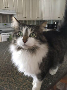 Beautiful, long-haired cat looking for her forever home